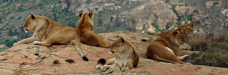 Löwen-Rudel VIER PFOTEN