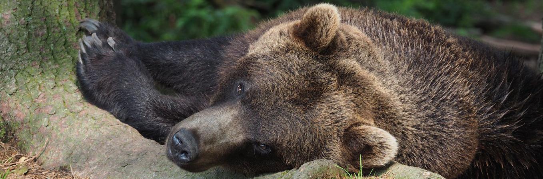Hilfe für leidgeplagte Bären