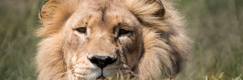 VIER PFOTEN Löwenpatenschaft